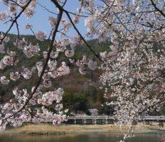 桜の京都 哲学の道・嵐山